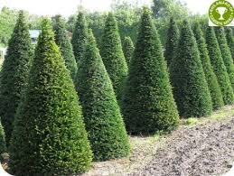 Yew Topiary - buy topiary hedging plants online hopes grove nurseries