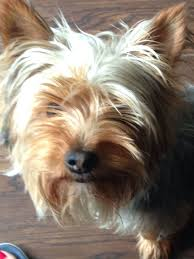 yorkshire terrier haircuts short find hairstyle