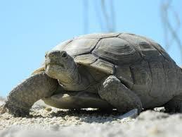 desert tortoise near anza borrego state park in southern