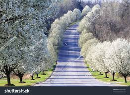 blossoms on line fruit trees stock photo 49981006