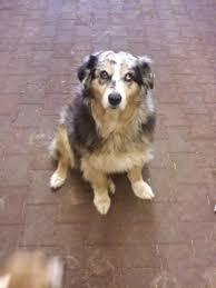 australian shepherd hound mix cutest barn dogs my horse forum