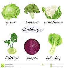 various types of cabbage stock vector image 90556958