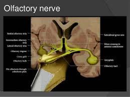 Nerves In The Knee Anatomy Cranial Nerves Anatomy U0026 Pathology
