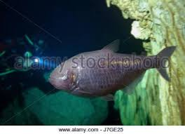 Mexican Blind Cave Fish Blind Cave Tetra Astayanax Mexicanus Inside Underwater Cave