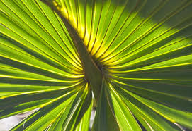 palm fronds for palm sunday palm sunday christians begin holy week with fronds and jesus
