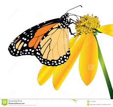 monarch butterfly side view stock photos image 11443263