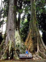 Bogor Botanical Garden by Me And Giant Trees U2014 I Love U0027em So Much For The Remembrance