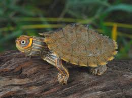 map turtle high orange mississippi map turtles for sale from the turtle source