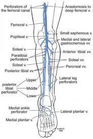 Foot Vascular Anatomy Anatomy Of The Lower Extremity Veins Varicose Veins