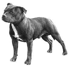 american pit bull terrier website staffordshire bull terrier dog breed information american kennel
