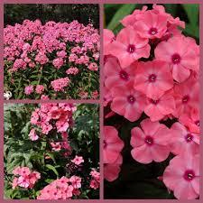 Fragrant Plants For Pots New Hybrid Phlox Paniculata U0027sweet Summer Dream U0027 Intensely