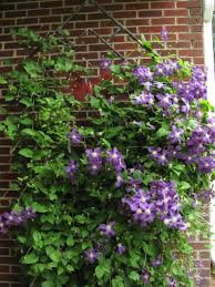 clematis trellis wall u2013 outdoor decorations