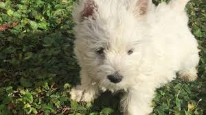 belgian shepherd for sale in malaysia sugar west highland white terrier puppy for sale euro puppy