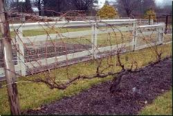 Planting Grapes In Backyard Edible Landscaping How To Prune Grape Vines Garden Org