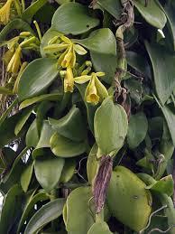 vanilla orchid vanilla planifolia
