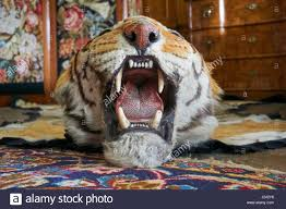 tiger skin rug stock photo royalty free image 139002394 alamy