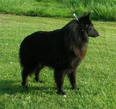 belgian shepherd herding belgian sheepdog