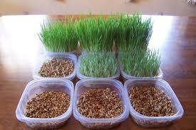 daily fodder growth brick house acres rabbitry
