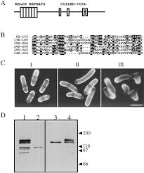 tea1 and the microtubular cytoskeleton are important for