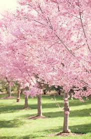 best 25 pink blossom tree ideas on pink trees cherry