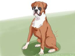 boxer dog origin how to diagnose spondylosis deformans in boxers 7 steps
