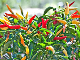 choosing and growing chili peppers