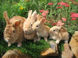 rabbit breeds adopt a rabbit