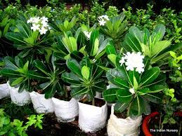 flower plants red yellow black white plumeria plants at rs 100 piece