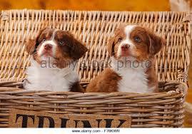 mini australian shepherd 7 weeks two australian shepherd puppies sitting stock photos u0026 two