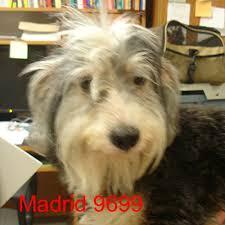 afghan hound collie mix greencastle nc shih tzu meet madrid a dog for adoption