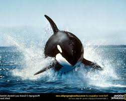animals orca splashes national geographic wallpapers hd