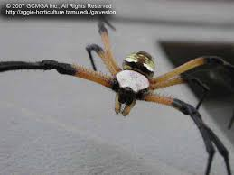 beneficial spiders in the landscape 24 garden spider argiope