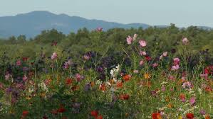 Mountain Backdrop Wildflowers With Mountain Backdrop Stock Footage Video 1663942