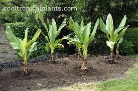 canna lilies canna lilies