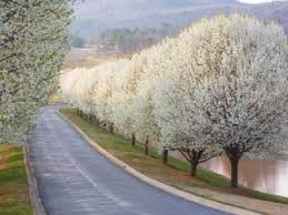 tree pictures pear pear trees and