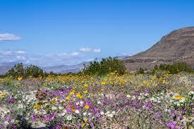 anza borrego wildflowers super bloom part 1 anza borrego wildflowers defy expectations