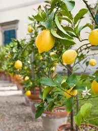 growing fruit trees in containers hgtv