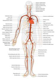 A Picture Of The Human Anatomy Veins And Arteries Difference And Comparison Diffen
