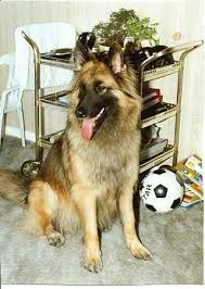belgian sheepdog registry tervard tervards belgian tervuren x german shepherd dog