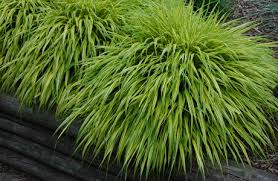 ornamental grass hakonechloa macro aureola shade tolerant out
