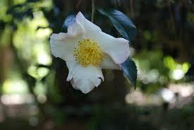 camellia automatic gardening u0026 real gluten free food