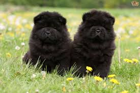 affenpinscher puppies cost chow chow dog breed information buying advice photos and facts