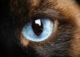Sudden Blind Spot In Both Eyes Dark Spots On The Eye In Cats Petmd