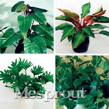 Indoor Vine Plant Online Buy Wholesale Indoor Vines From China Indoor Vines