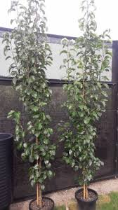 capital ornamental pear trees in 30cm pots only 58 plants