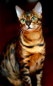 132 best bengal kittens images on pinterest animals bengal cats