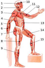 Abdominal Anatomy Quiz Free Anatomy Quiz Muscles Of The Whole Body Locations Quiz 4