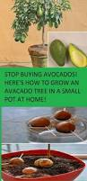 stop buying avocados here u0027s how to grow an avocado tree in a