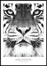 poster with tiger black and white posters stylish prints
