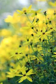 70 best perennials images on pinterest flower gardening flowers